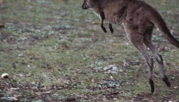 What Bones Power A Kangaroos Jumping Animals Mom