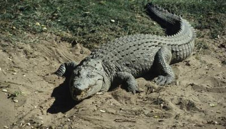 Do Crocodiles Have Ears Animals Mom