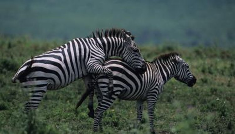 Do Zebras Have A Mating Ritual Animals Momme