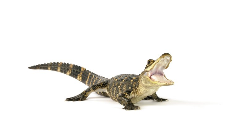 How to Legally Own an Pet Alligator | Animals - mom me