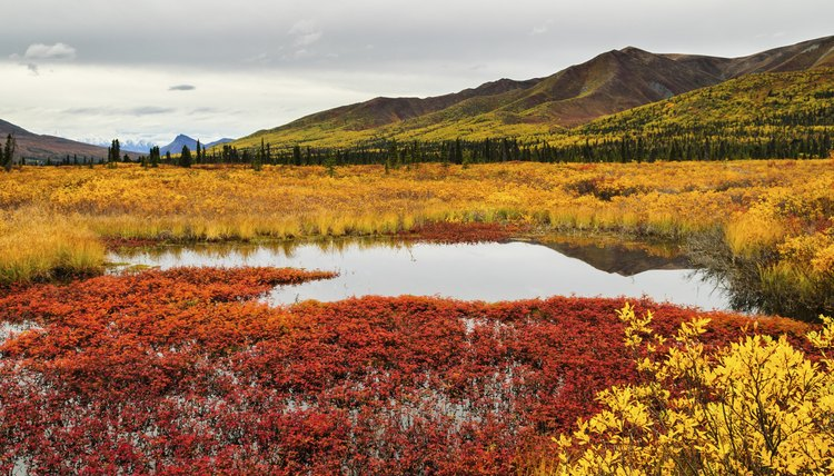 Low-lying tundra plants erupt into brilliant colors in the fall.