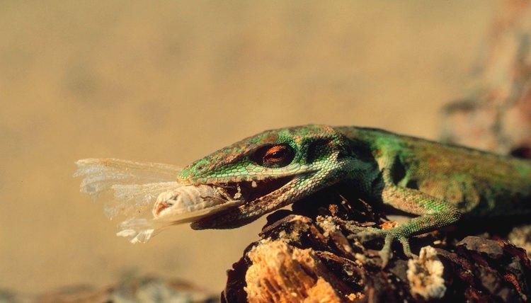 poisonous lizards in georgia animals. Black Bedroom Furniture Sets. Home Design Ideas