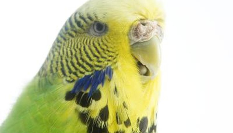 Budgies as Pets for Kids | Animals - mom me