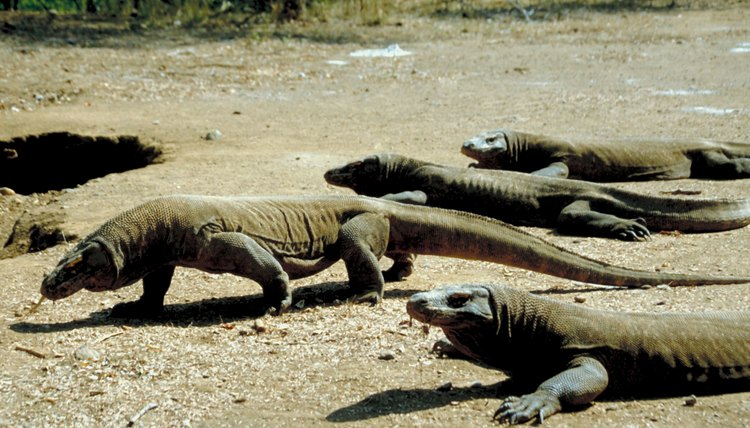 Komodo dragons are the world's largest living lizards.
