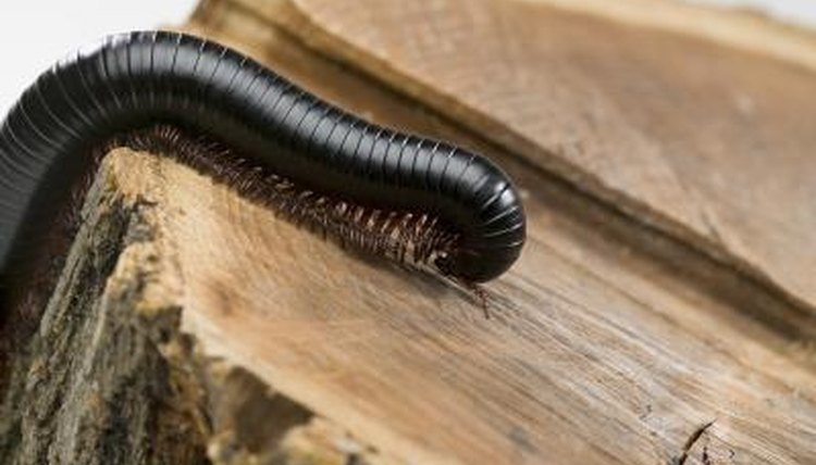 Why Do Millipedes Smell So Bad? | Animals - mom me