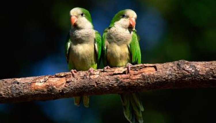 How to Tell the Sex of a Quaker Parakeet | Animals - mom me