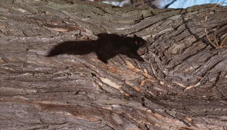 The Adaptations Of Fox Squirrels Animals Mom