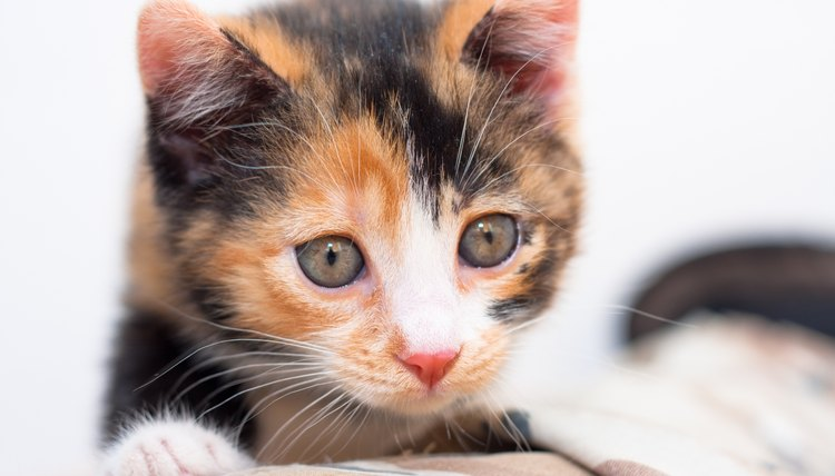 calico kittens personality training animals mom me