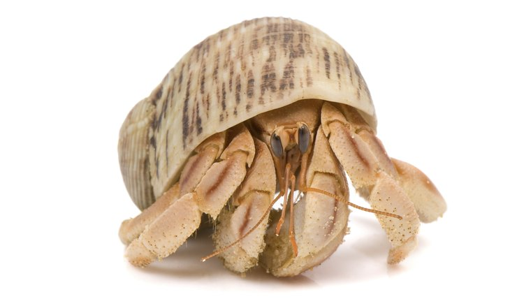 how-long-hermit-crab-live | Animals - mom me