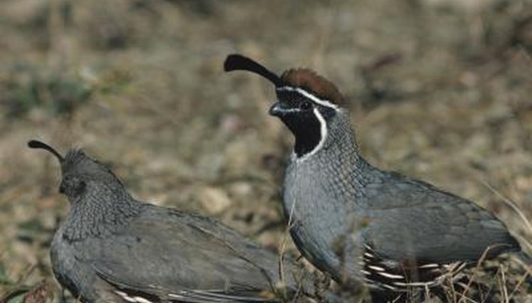 Quail Chicks Information Animals Momme