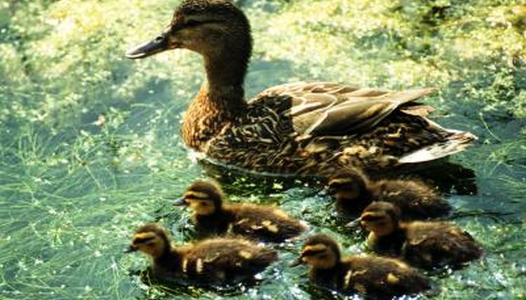 How to Get a Female Duck to Foster Ducklings | Animals - mom me