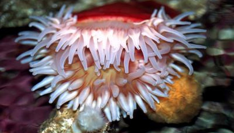 Bacteria Affecting Sea Anemones Animals Mom