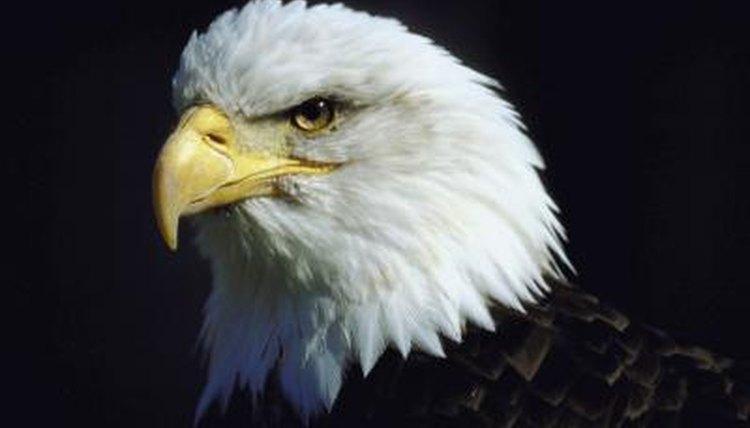 Eagles Nest Sizes Animals Mom Me