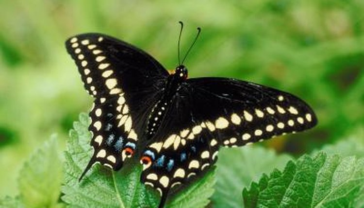 stages of black swallowtail butterfly development animals mom me
