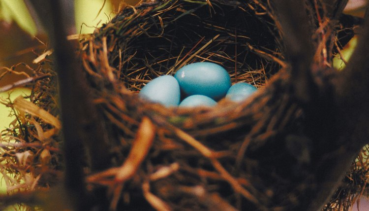 Robin eggs have a distinct blue color known as eggshell blue.