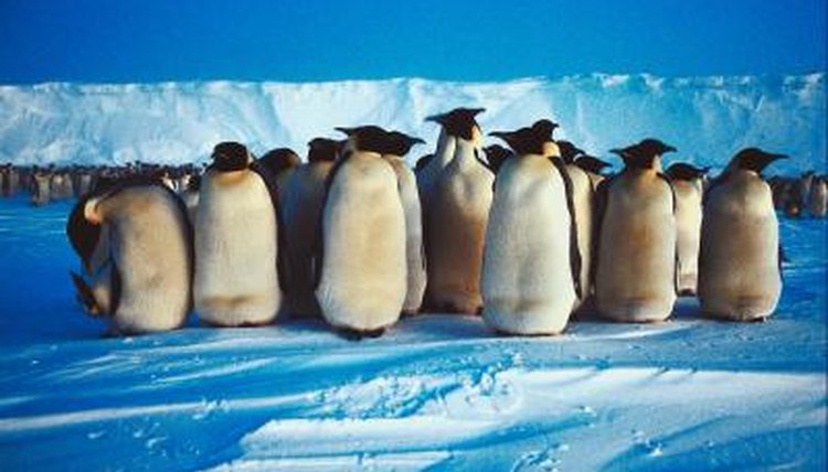 What Are The Similarities Differences Between An Emperor Penguin