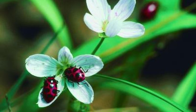 How Long Do Ladybugs Stay In The Pupa Stage Animals