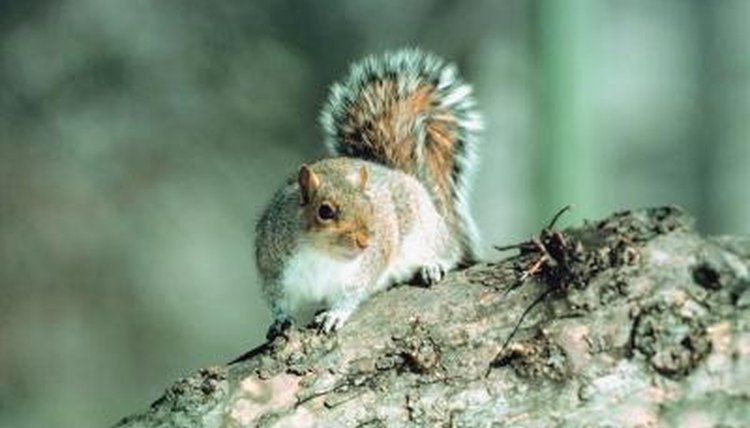 The Average Life Span of a Grey Squirrel | Animals - mom me