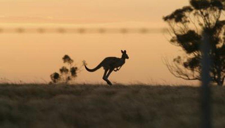 How Kangaroos Move Animals Mom