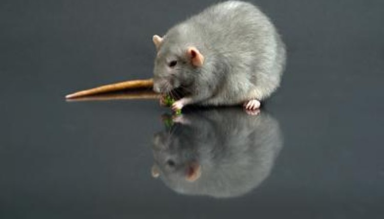 What Foods Are Dangerous for Rats to Eat? | Animals - mom me