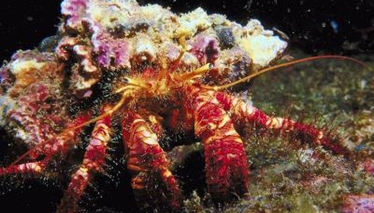 Relationship Between Hermit Crabs & Sea Anemones | Animals