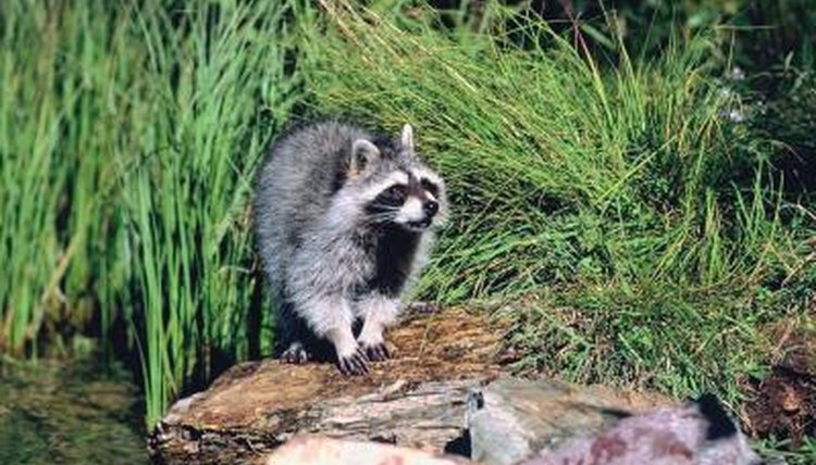 The natural habitat of raccoons animals How to keep raccoons out of garden