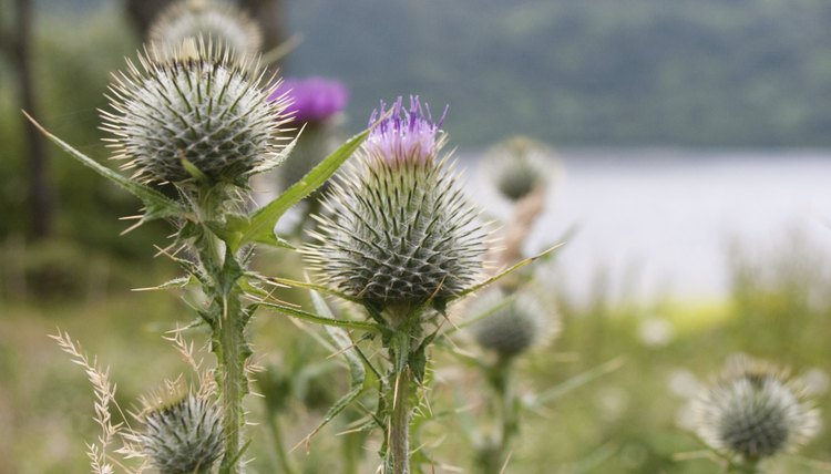 Close-up view of Scottish thistles