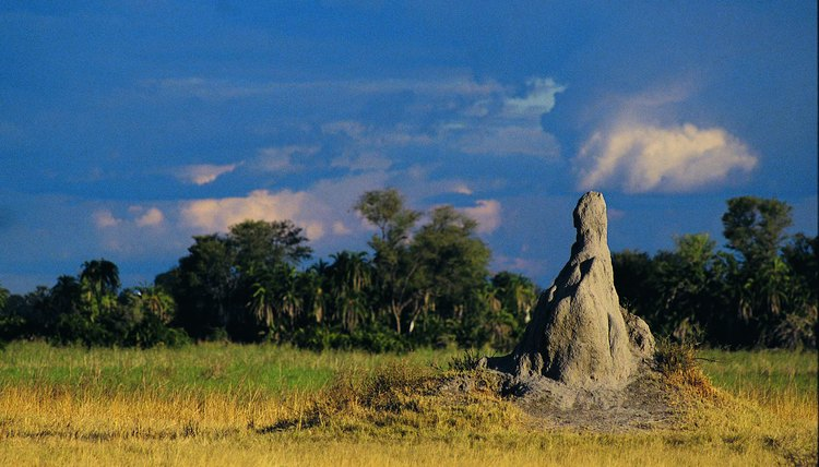 Termite hills often reach heights of 10 feet or more in the African savanna.