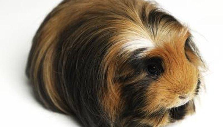 do guinea pigs get hairballs animals mom me