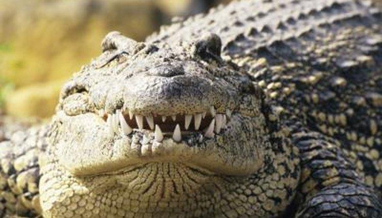 Do Cats Eat Crocodiles