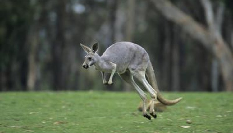 What Kind Of Feet Do Kangaroos Have Animals Mom Me