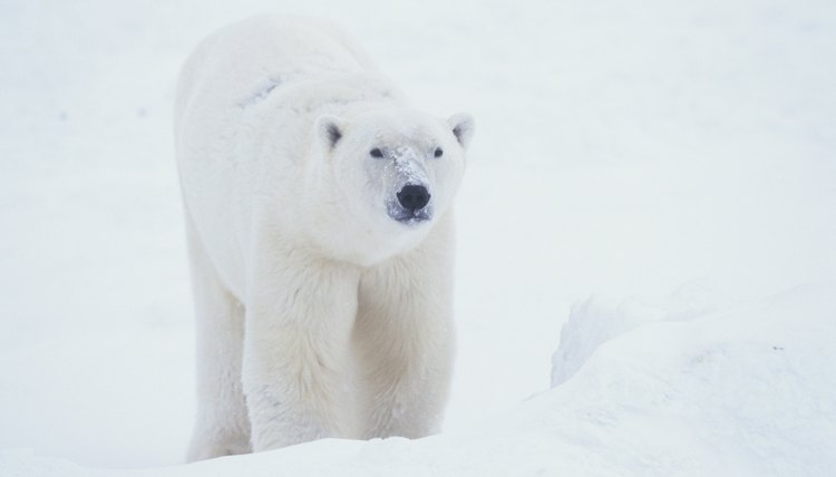 Show how blubber keeps polar bears warm.