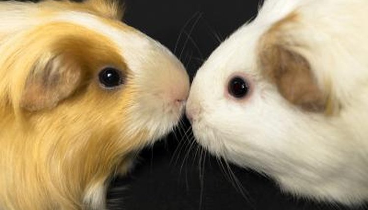 What Do Watery Eyes on a Guinea Pig Mean? | Animals - mom me