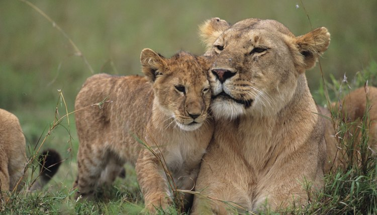 How Do Lions Care For Their Young Animals Mom