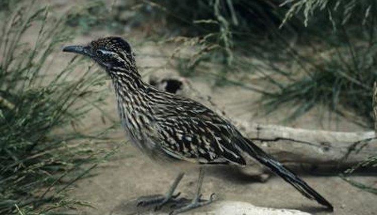 Identify sex of roadrunner birds