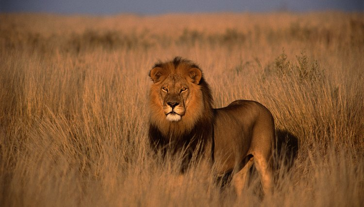 African lions can grow quite large with adults reaching weights between 265 and 420 pounds.