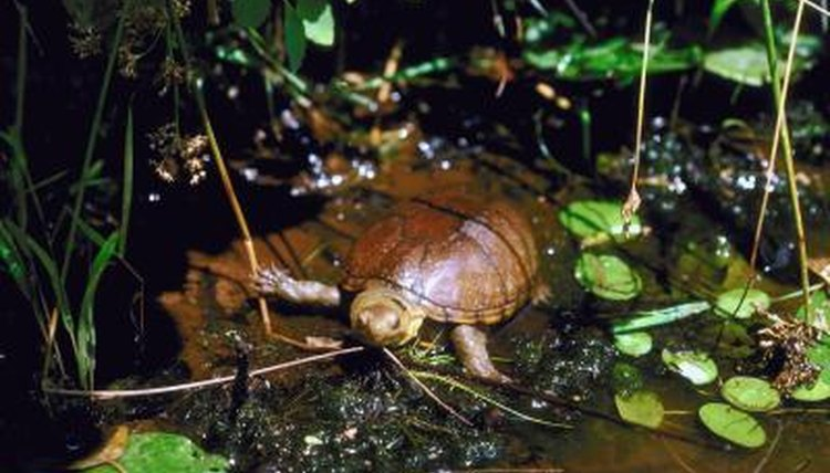 How Big Does A Mud Turtle Aquarium Need To Be Animals