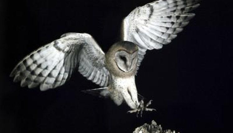 How Come An Owl Will Not Eat During The Day Animals Mom
