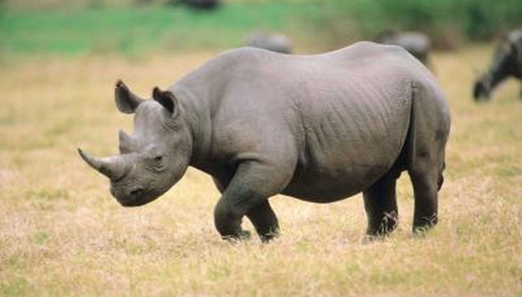 Rhinoceros (Animal)