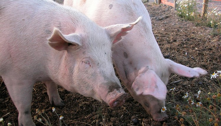 Most Muslims regard pigs as shameful animals based on the Quran's prohibition on eating pork.