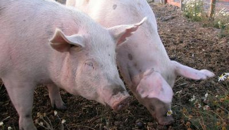 Vaccination schedule for pigs animals mom ablestockablestockgetty images publicscrutiny Choice Image