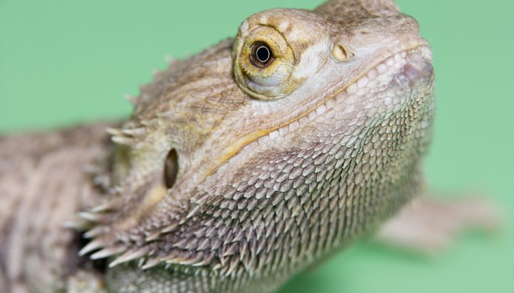 Which Types of Bearded Dragons Make the Best Pets? | Animals - mom me
