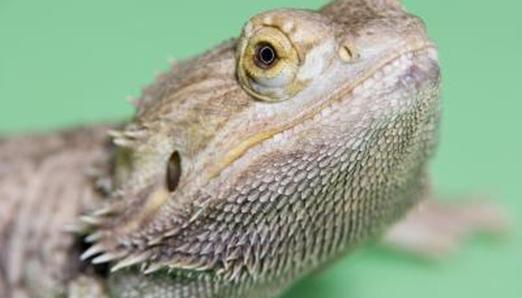 Is Your Bearded Dragon At Risk For Contracting Adv