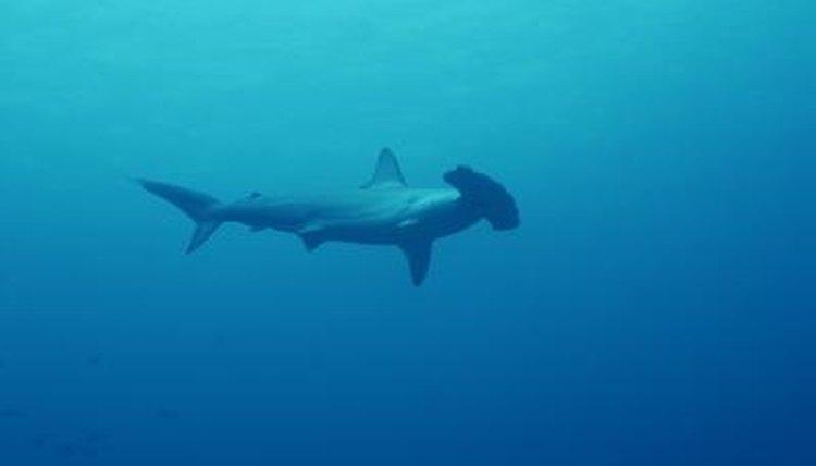 Hammerhead shark asexual reproduction
