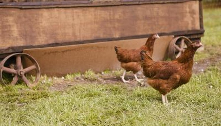Types of Laying Hens | Animals - mom me