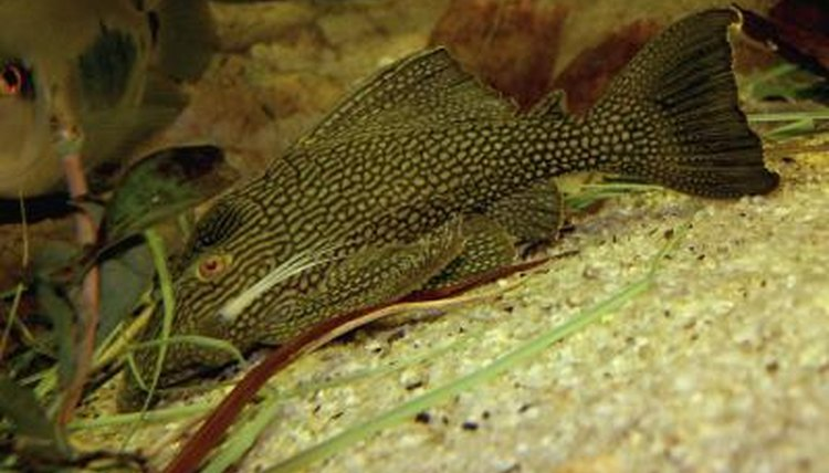 Plecostomus Care | How To Care For Plecostomus Animals Mom Me