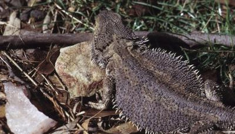Why Do Bearded Dragons Flatten Their Stomachs? | Animals
