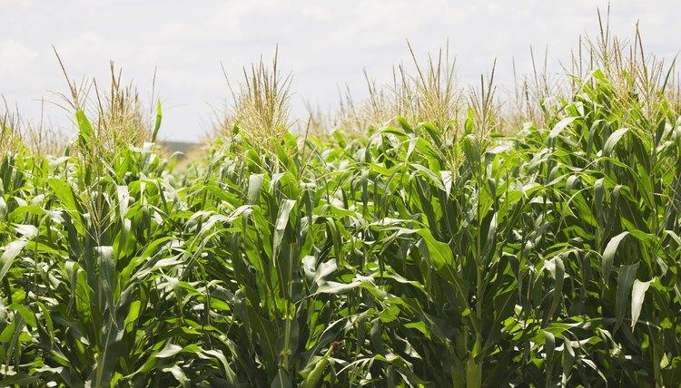 Corn stalks growing.