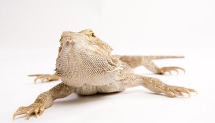 Bearded Dragon Mating Behaviour