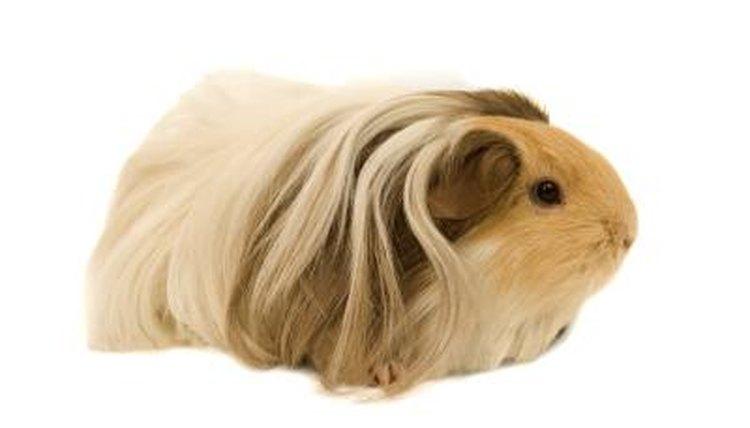 List of Guinea Pig Illnesses | Animals - mom me